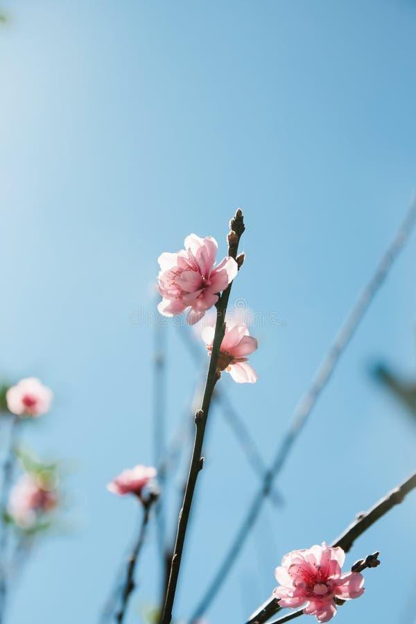 Dziki Himalajski Czereśniowy kwitnienie obrazy royalty free