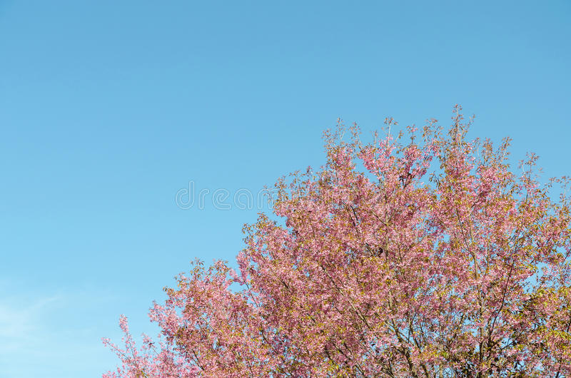 Dziki himalajski czereśniowy tajlandzki Sakura w Chiang mai Thailand obrazy stock