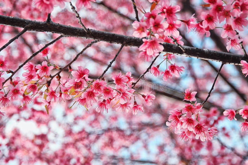 Dziki Himalajski wiśni lub Sakura cudowne dziecko Tajlandia Kwiat w zima sezonie na sposobie Doi Angkhang opowieść obraz stock