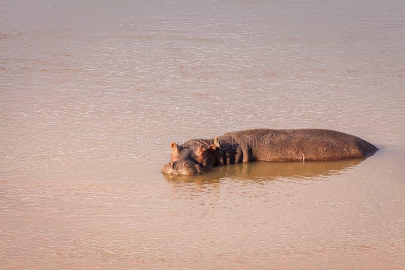 Dziki Hipopotam zdjęcie stock