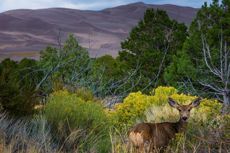Dziki Jeleni patrzeć w kierunku kamery Kolorado przyrody obraz stock
