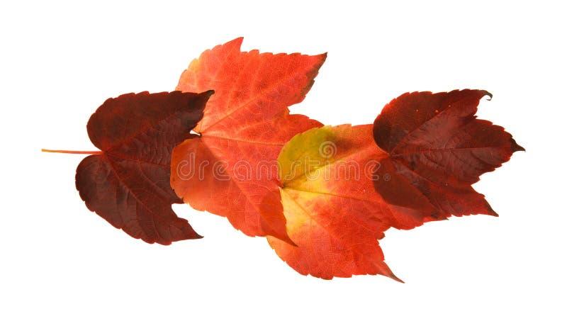 dziki jesienny piękny kolorowy gronowy liść zdjęcie stock