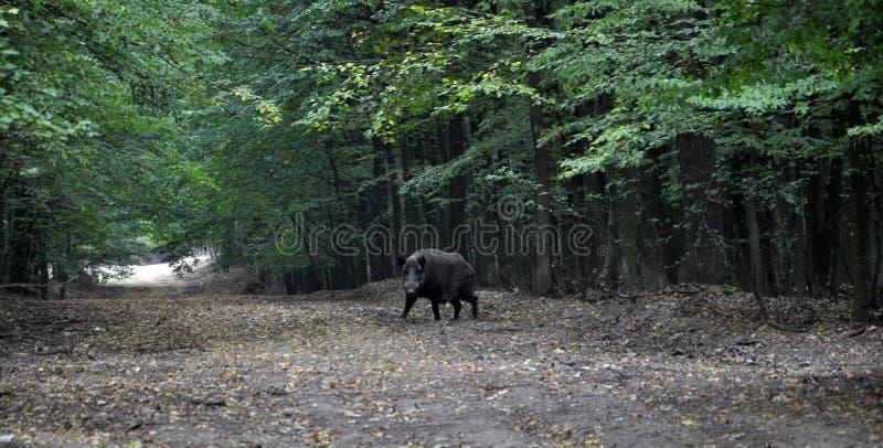 Dziki knur biega z lasu fotografia stock