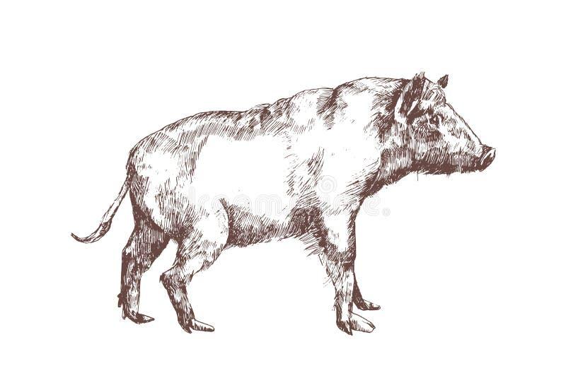 Dziki knur, chlewnie lub świniowata ręka rysujący z konturowymi liniami na białym tle, Elegancki monochromatyczny rysunek suid zw royalty ilustracja