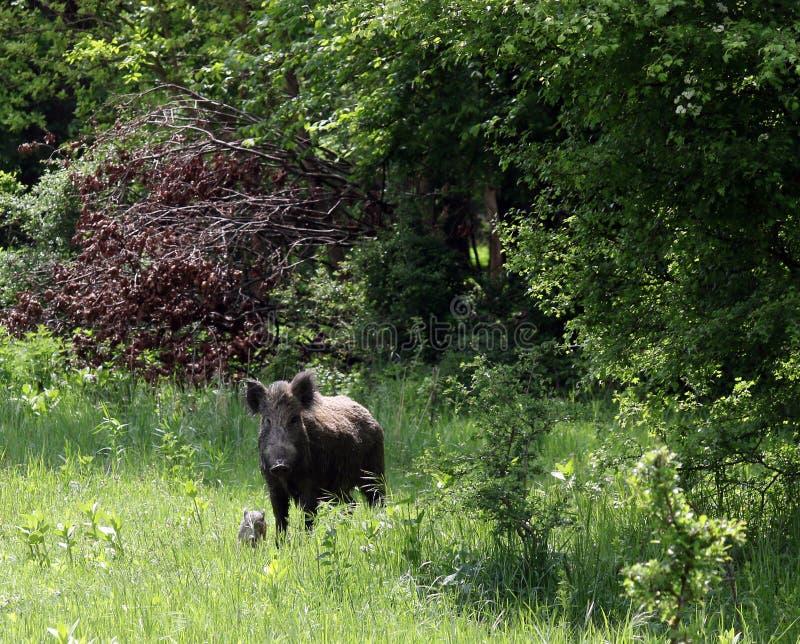 Download Dziki knur i świnia zdjęcie stock. Obraz złożonej z knur - 53780502