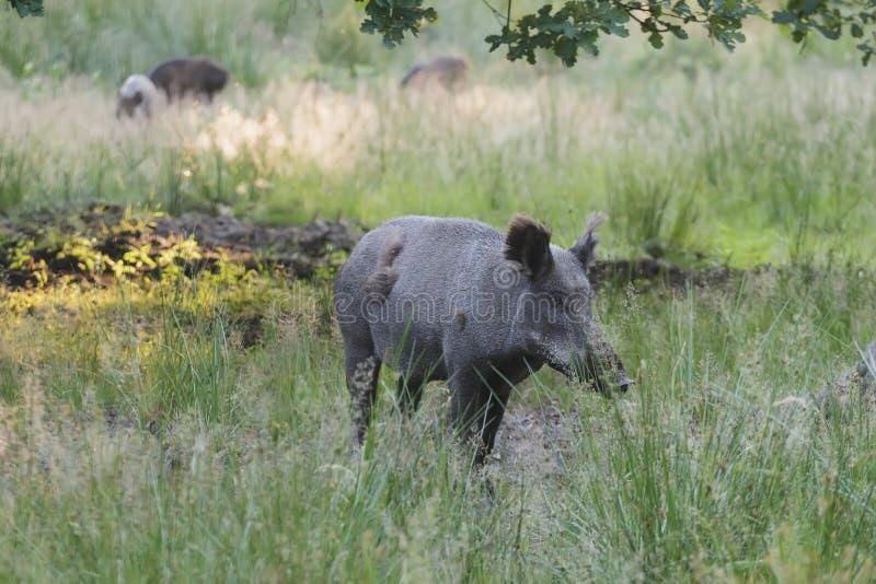 Dziki knur lub Eurazjatycka dzika świnia zdjęcie stock