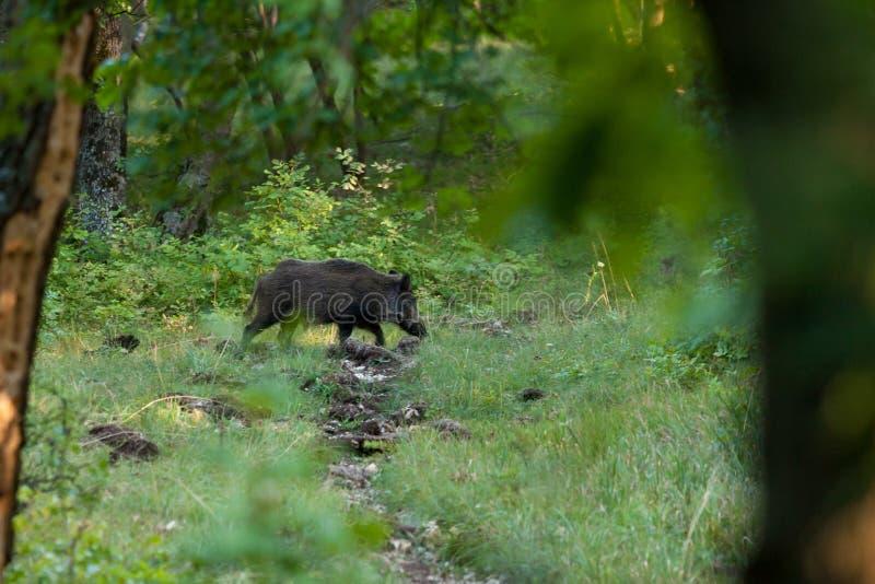 Dziki knur na lesie w wiośnie obrazy royalty free