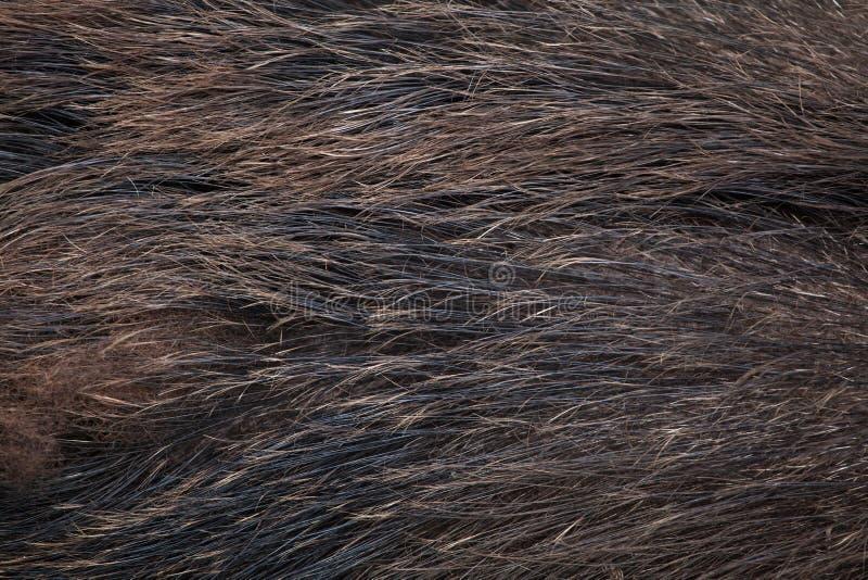 Dziki knur & x28; Sus scrofa& x29; tileable skóry bezszwowa tekstura zdjęcia royalty free