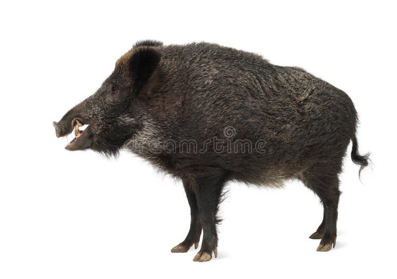 Dziki knur, także dzika świnia, Sus scrofa obraz royalty free