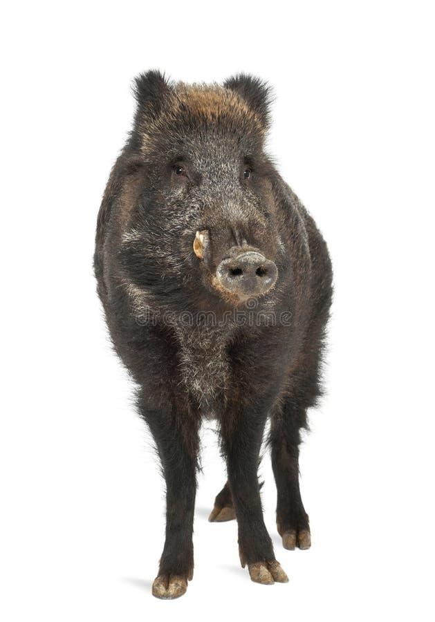 Dziki knur, także dzika świnia, Sus scrofa fotografia royalty free