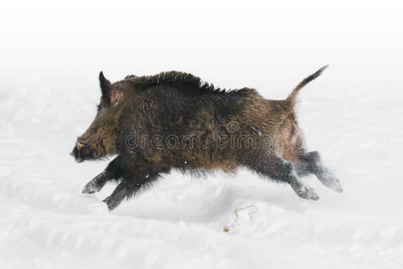 Dziki knur w śniegu obraz royalty free