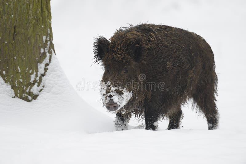 Dziki knur w śniegu fotografia stock