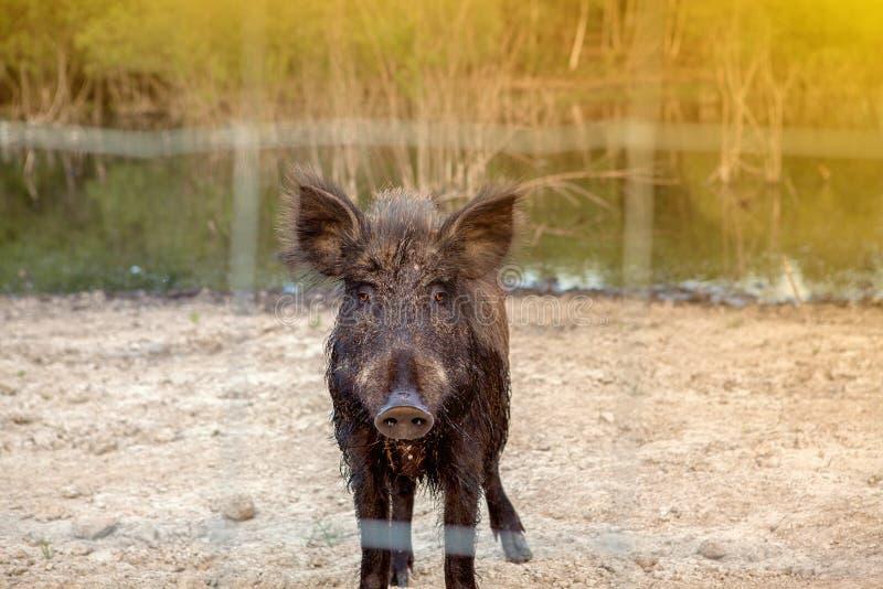 Dziki knur w klatce za kratownicą Dzika świnia w lasowych zwierzętach w parku narodowym w zoo, zdjęcie stock