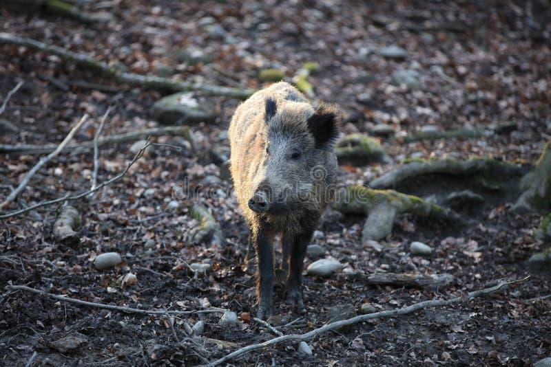 Dziki knur w Lasowym Niemcy zdjęcia stock