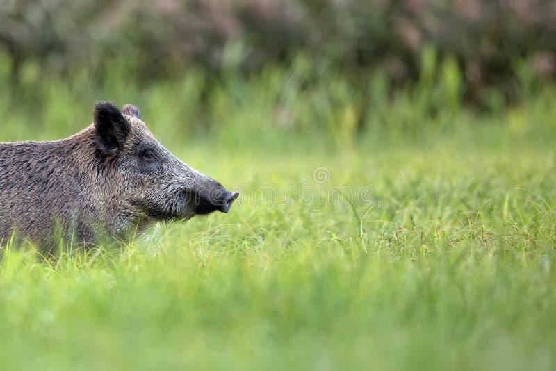 Dziki knur w polanie zdjęcie stock