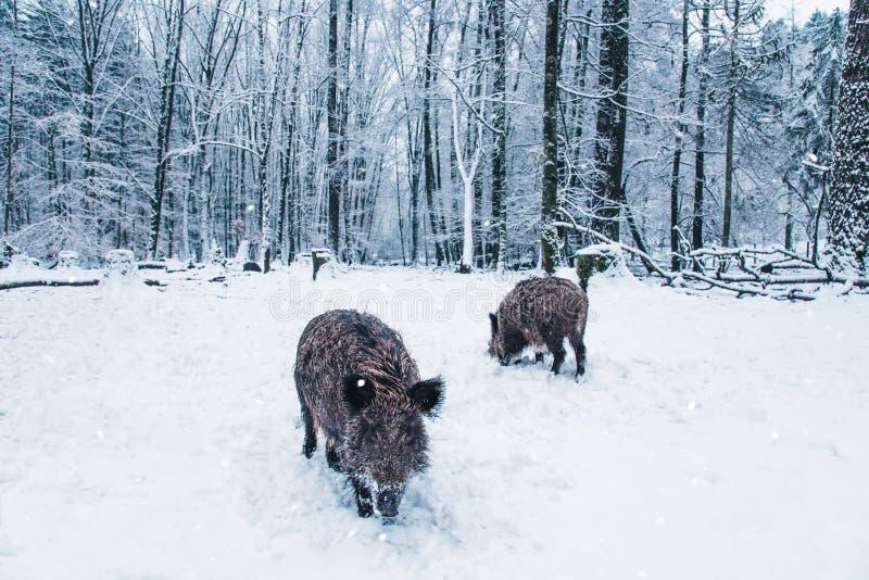 Dziki knur w zima lesie obrazy royalty free