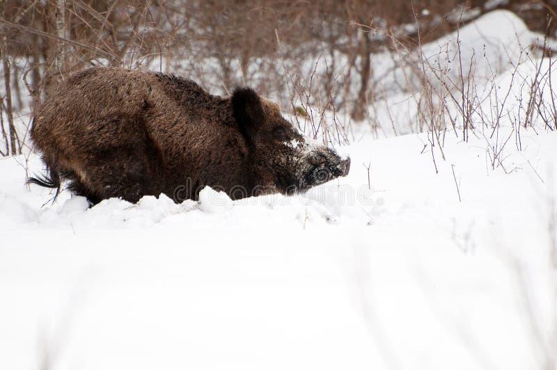 Dziki knur w zimie obraz stock