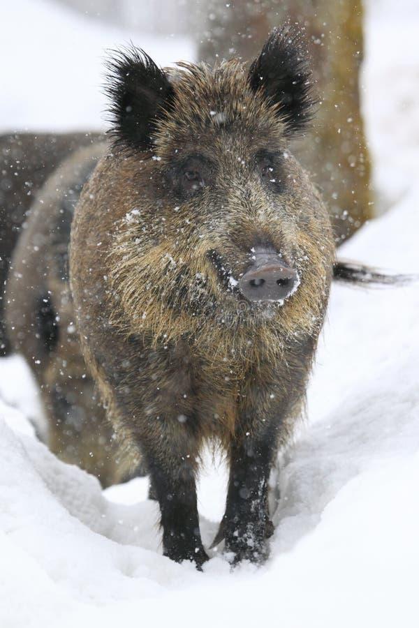 Download Dziki knura opad śniegu obraz stock. Obraz złożonej z bavarian - 23567909