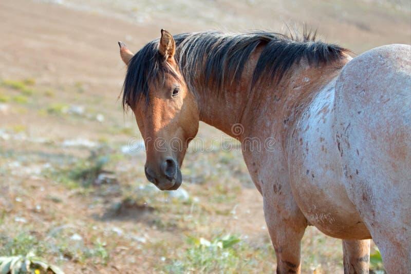 Dziki koń - Czerwony Dereszowaty ogier przyglądający w Pryor gór Dzikiego konia pasmie w Montana usa z powrotem fotografia stock