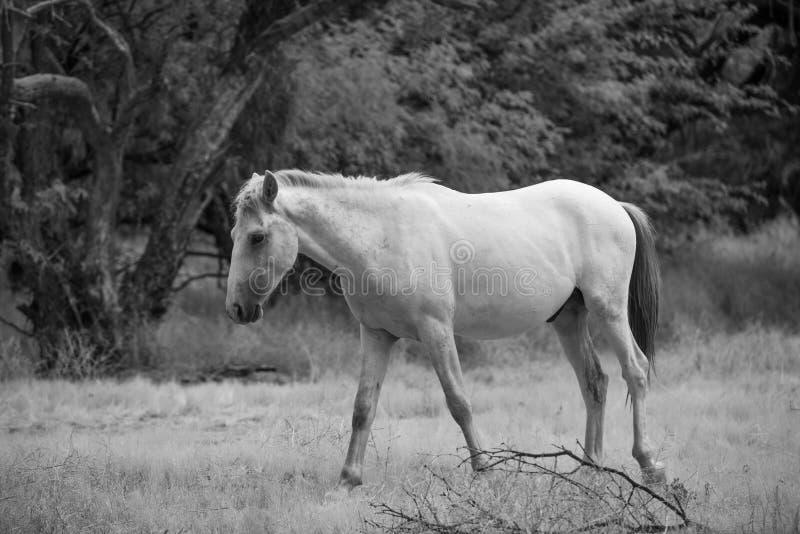Dziki koń Wędruje zdjęcia stock
