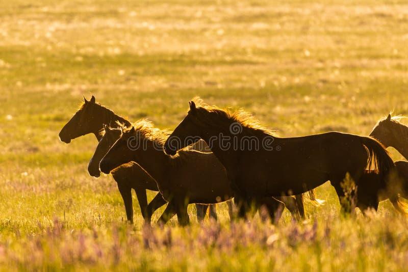 Dziki koń w przyrodzie na złotym zmierzchu zdjęcie stock