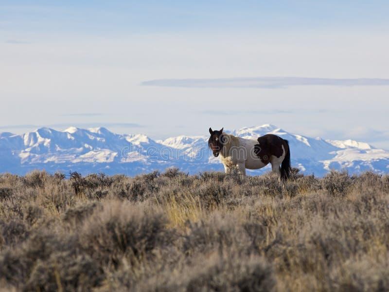 Dziki koń w Wyoming wysokości pustyni zdjęcia stock