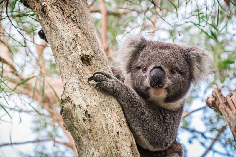 Dziki koali obsiadanie na drzewie fotografia stock