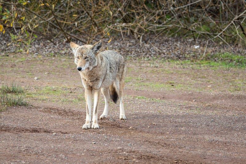 Dziki kojot Błaga Dla jedzenia fotografia stock