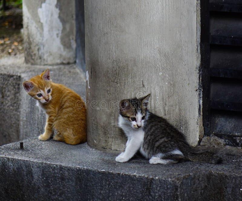 Dziki kot na ulicie w Kuala Lumpur, Malezja fotografia royalty free