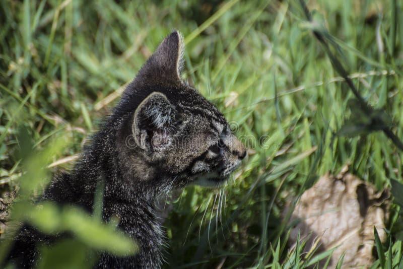 Dziki kot w zielonej trawie obrazy stock