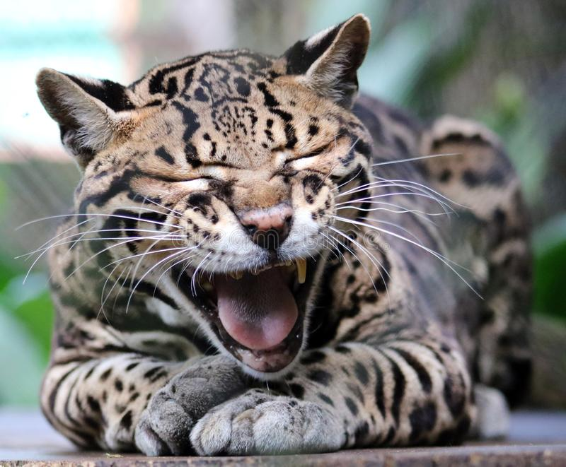 Dziki kota ocelot w Costa Rica pięknym zwierzęciu fotografia stock