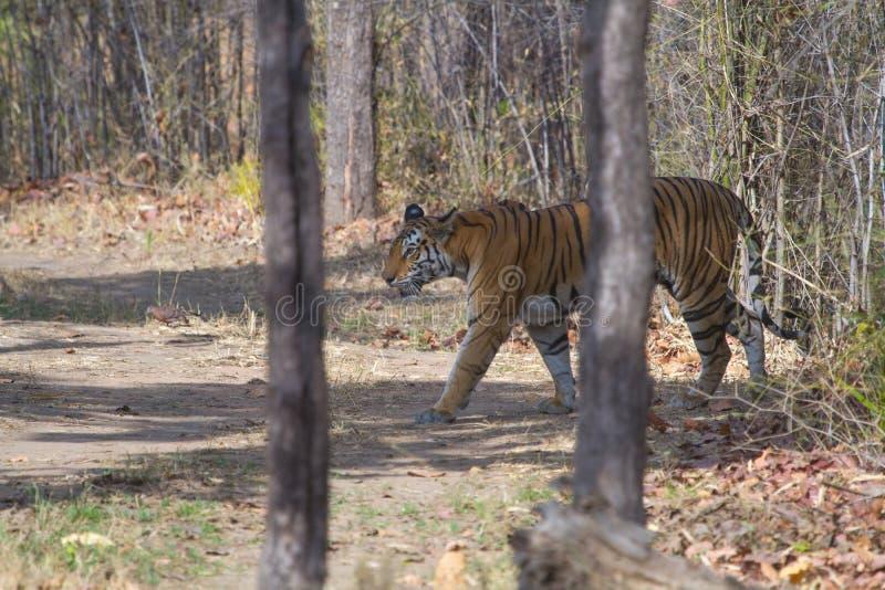 Dziki królewski tygrys bengalski w dżungli indyjskiej obrazy royalty free