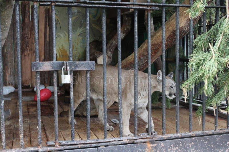 Dziki kuguar w wolierze za barsin St Petersburg zoo zdjęcia royalty free