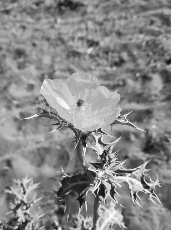 Dziki kwiat - Argemon zdjęcia stock