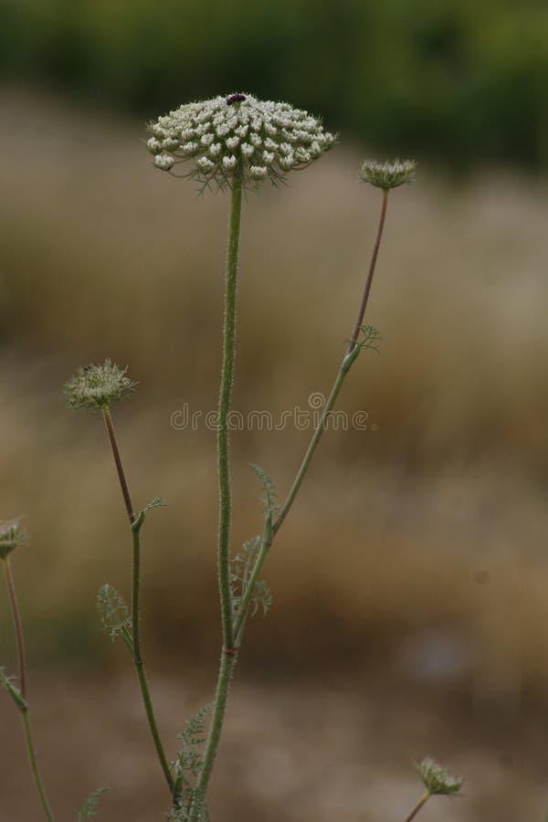 Dziki kwiat od wzgórzy Jerozolima zdjęcia royalty free