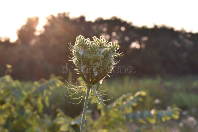 Dziki kwiat przy zmierzchem obraz stock