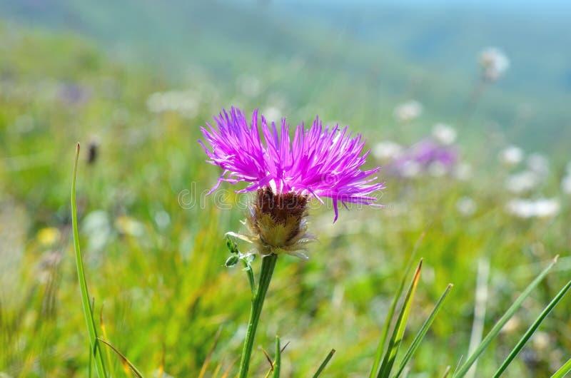 Dziki kwiat w łące obraz stock