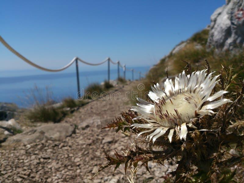 Dziki kwiat w Chorwacja obrazy royalty free