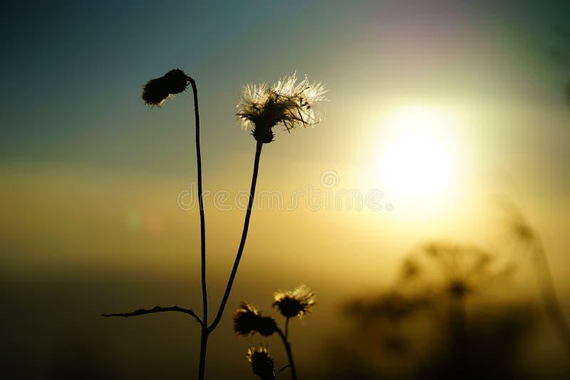 Dziki kwiat w górach z zmierzchem zdjęcia stock
