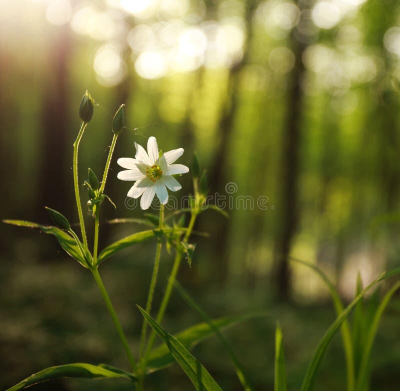 Dziki kwiat w zielonym lesie na zmierzchu świetle zdjęcia royalty free