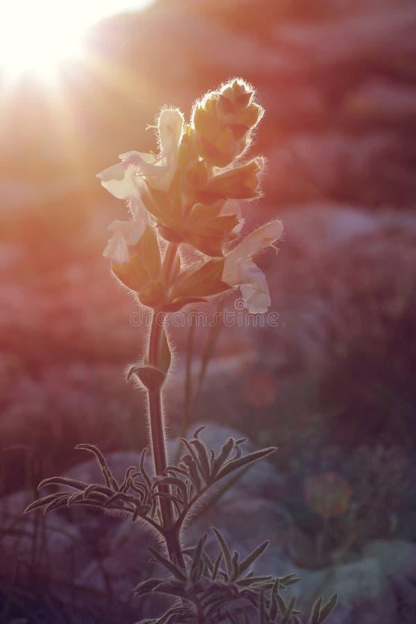 Dziki kwiat w zmierzchu zdjęcie royalty free