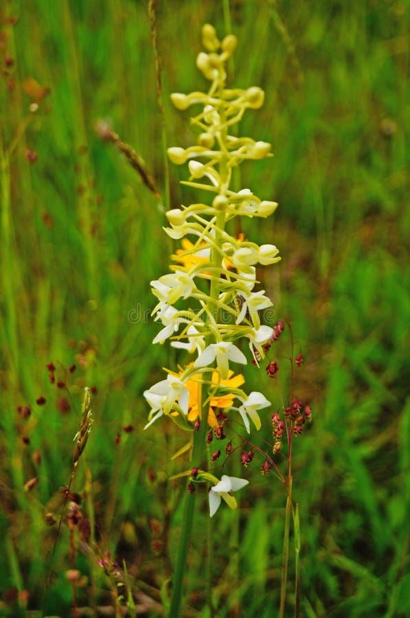 Dziki kwiat z koloru żółtego, białych i błękitnych płatkami, obrazy royalty free