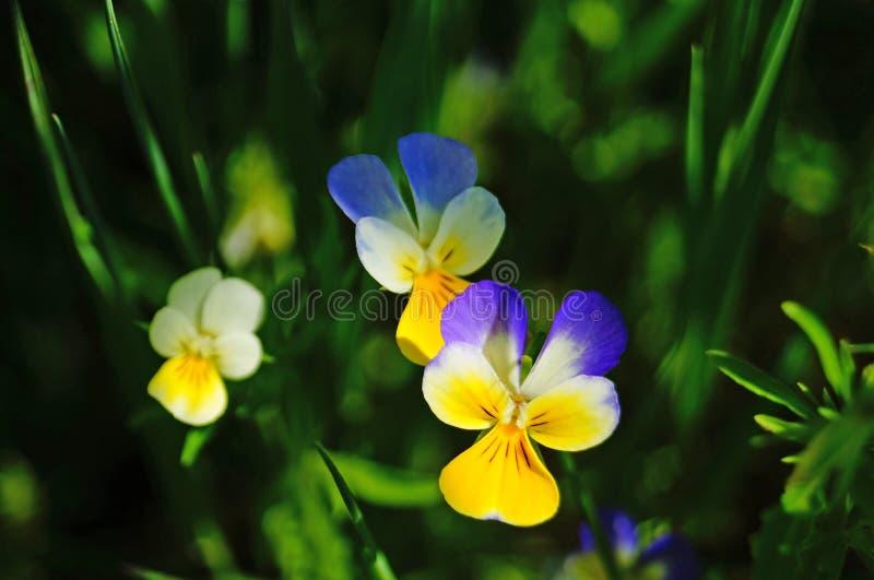 Dziki kwiat z koloru żółtego, białych i błękitnych płatkami, zdjęcie royalty free