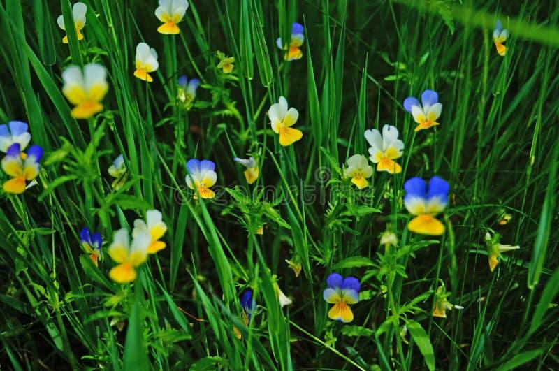 Dziki kwiat z koloru żółtego, białych i błękitnych płatkami, zdjęcia stock