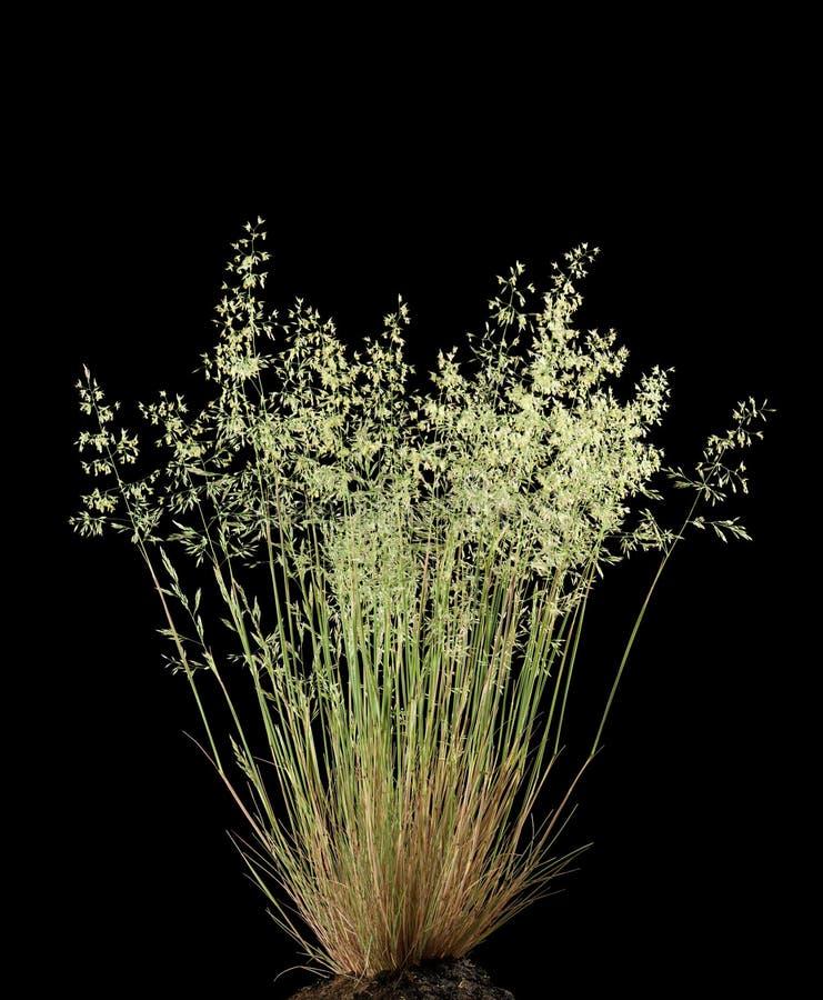 Dziki kwiatonośny trawy Poa annua zdjęcia royalty free