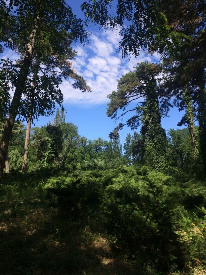 Dziki las, jodły i sosny na pięknej haliźnie, Puszyste chmury i jesteśmy widoczni przez gałąź drzewa fotografia stock