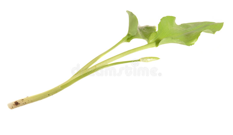 Dziki leek, Allium ursinum †'znać jako ramsons obraz royalty free