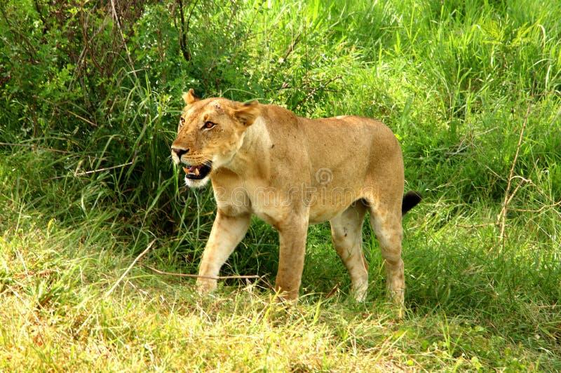 Dziki lew w Afrykańskim parku narodowym zdjęcia stock