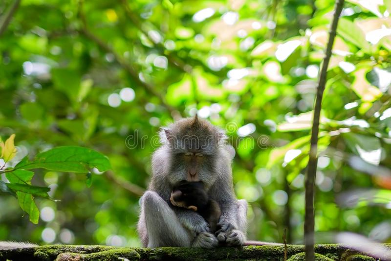 Dziki małpi sypialny mienie jej mały dziecko w rękach obraz stock