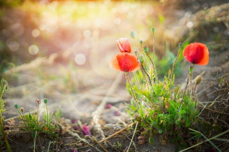 Dziki maczek kwitnie na zmierzch natury tle zdjęcie royalty free
